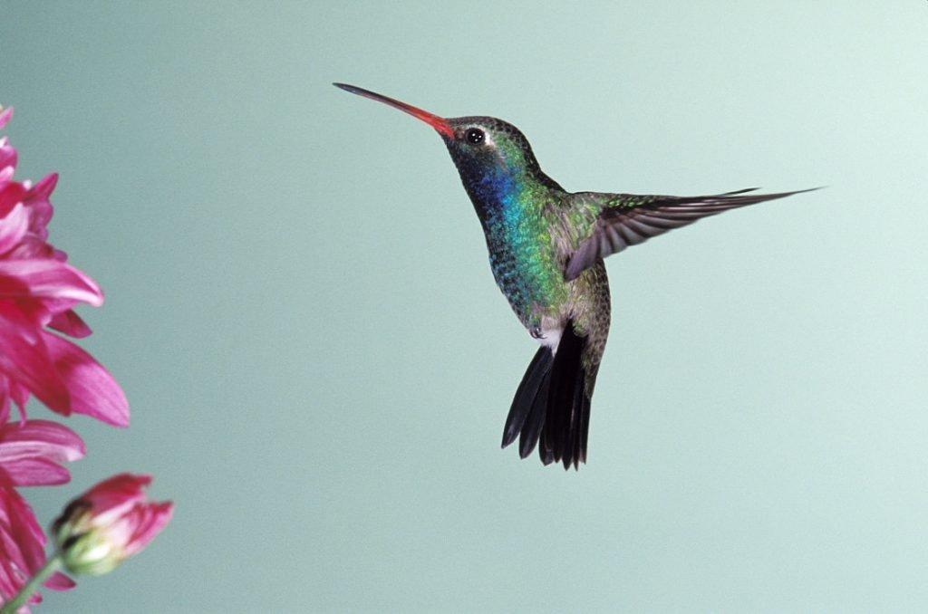 hummingbird-mf1